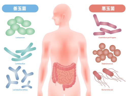 腸内環境は善玉菌と悪玉菌のバランスにある